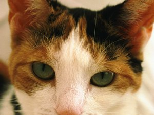 Hyperthyroid Radioisotope Treatment for Cats