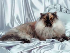 Himalayan Cat Behavior