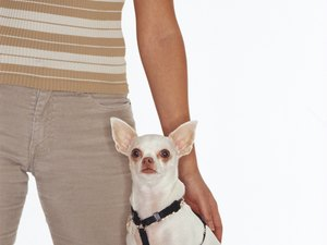 How to Prepare a Chihuahua to Wear a Harness