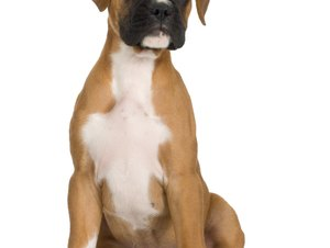 How to Get a Boxer Puppy to Like Cats