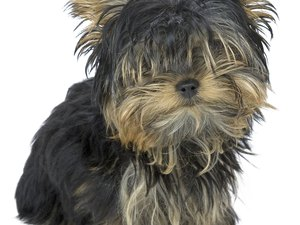 Feeding & Caring for a Yorkie Puppy