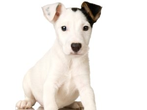 How to House Train a Jack Russell Puppy