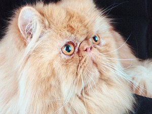 Do Long-Haired Cats Shed Less?
