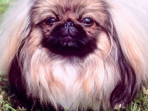 Pekingese Hair Care