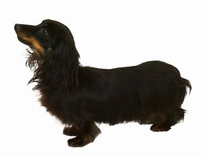 Dog-Grooming Instructions for Long-Hair Dachshunds
