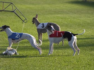 Training a Greyhound