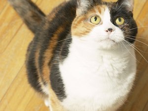 Are Vegetarian Diets Good for Cats?