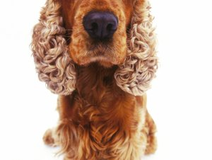 How to Care for an Adopted Adult Cocker Spaniel