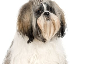 How to Housebreak a Shih Tzu