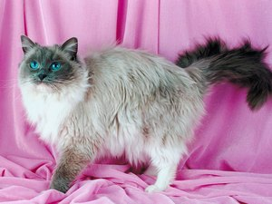 Information About Ragdoll Cats & Kittens