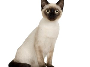 Can a Siamese Cat's Fur Change From Dark to Light?
