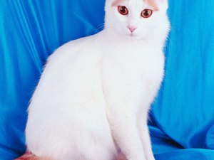 Difference Between Turkish Van & Turkish Angora Cats