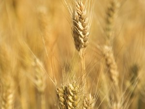 What Are the Dangers of Gluten Sensitivity?