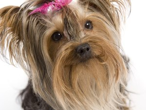 Encephalitis in Yorkies