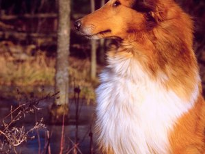 Hair Loss in a Rough Collie