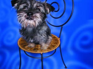 What to Do if Your Mini Schnauzer Is Acting Shy?