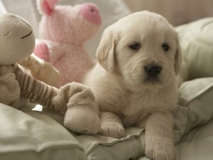 Why Female Puppies Hump on Their Stuffed Toys