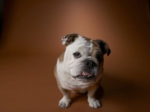 What Is an English Bantam Bulldog?