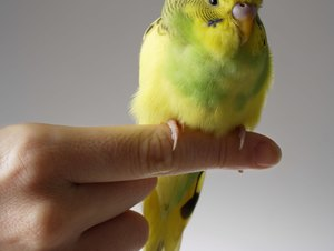 Budgie Bird Training
