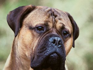 How to Introduce a Bull Mastiff to a Kitten