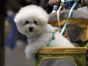 How to Care for the Coat of Bichon Dogs