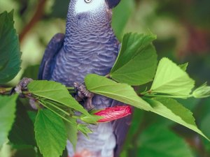 How to Tell Sexes of African Gray Parrots
