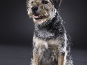 Can Border Terriers Be Raised With Cats?