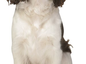How to Care for a Springer Spaniel Coat