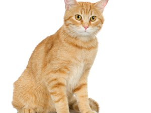 How to Make a Natural Food for Cats with Gastrointestinal Problems