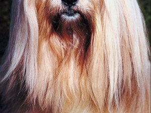 When Is a Lhasa Apso Dog Fully Grown?