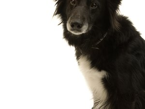 Mange Treatment for a Border Collie
