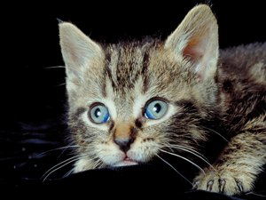 Deficiency of Taurine in Kittens