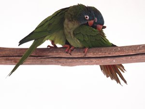 How Do You Tell the Difference Between Plucking & Grooming in a Parrot?