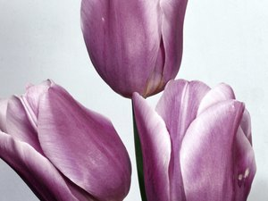 Are Tulips Dangerous for Cats?