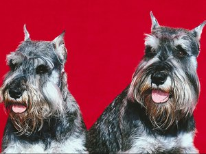 Schnauzer Ear Care