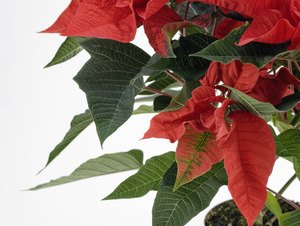 Are Poinsettas Poisonous to Cats?