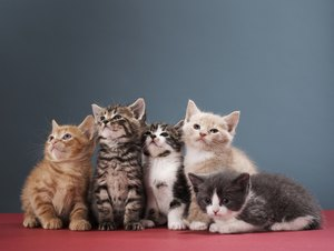 What Is the Number of Litters a Cat Can Have?