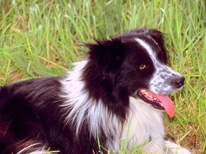 Are Border Collies Bad for Asthma?