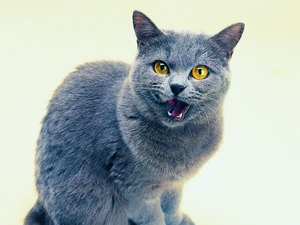 How to Tell the Difference in a Russian Blue Cat From a Domestic Cat