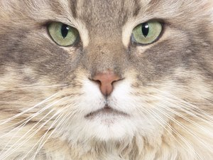 How Do Cat Whiskers Know to Stop Growing?