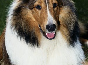 Treatments for Gray Collie Syndrome