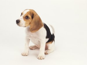 Newborn Beagle Puppy Information