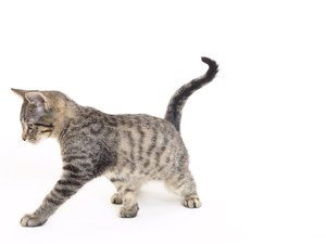 Scoliosis in Cats