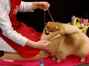 How to Care for an Adult Pomeranian