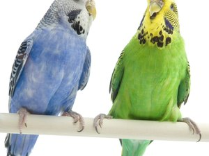 How to Introduce a New Parakeet to Another Parakeet