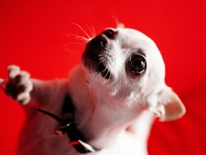 Can Hypoglycemia in Chihuahuas Cause Liver Failure?