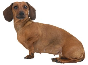 Do Dachshunds Get Bloated?