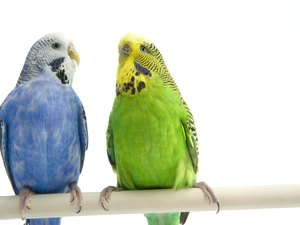 Can You Put Two Strange Parakeets in the Same Cage?