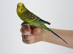 Fun Stuff to Do with a Parakeet