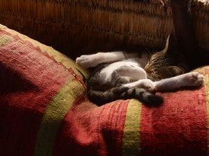What Is the Linea Alba in Cats?